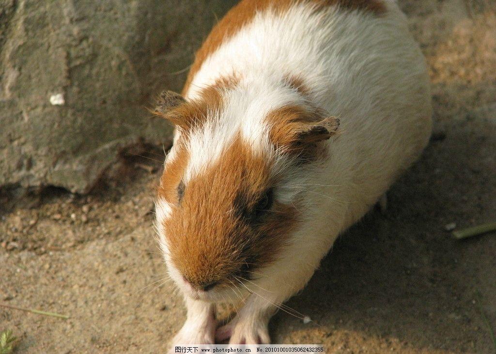 荷兰猪 小动物 青岛动物 中山动物园 野生动物 生物世界 摄影 180dpi