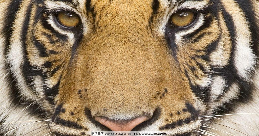 老虎 凶猛 动物世界 正面动物头像 高清动物 野生动物 生物世界 摄影