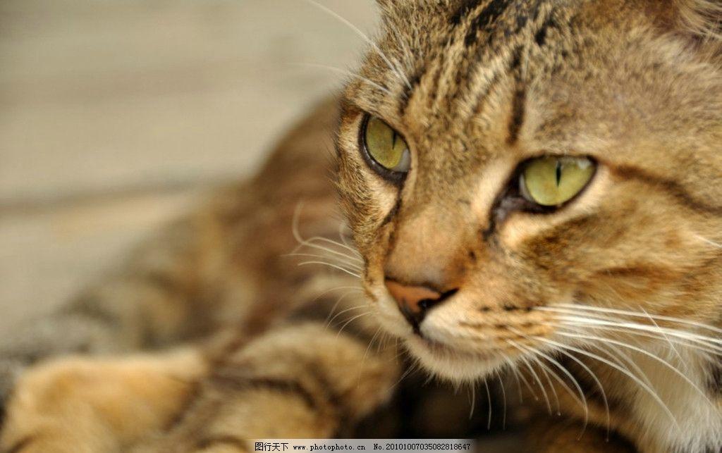 猫写真 猫咪 花猫 野生动物 生物世界 摄影 300dpi jpg