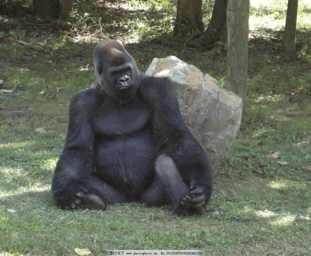 大猩猩 动物图片 动物摄影 陆地动物 哺乳动物 动物素材 动物图片专辑