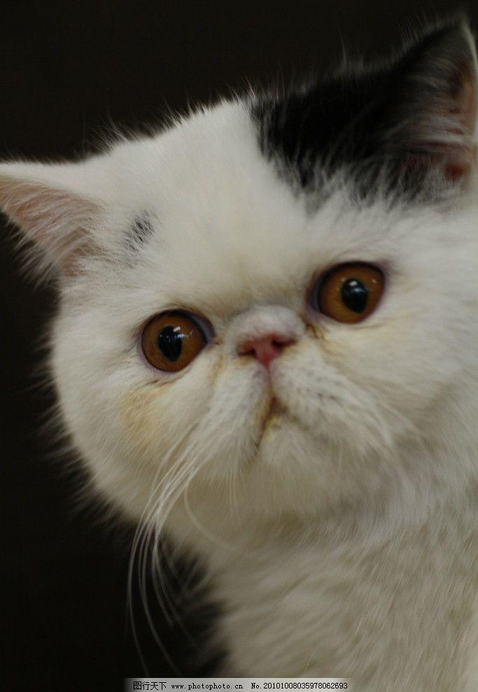 波斯猫 猫咪 宠物 动物 可爱小猫 可爱 活泼 彩色 动物图库 摄影 jpg