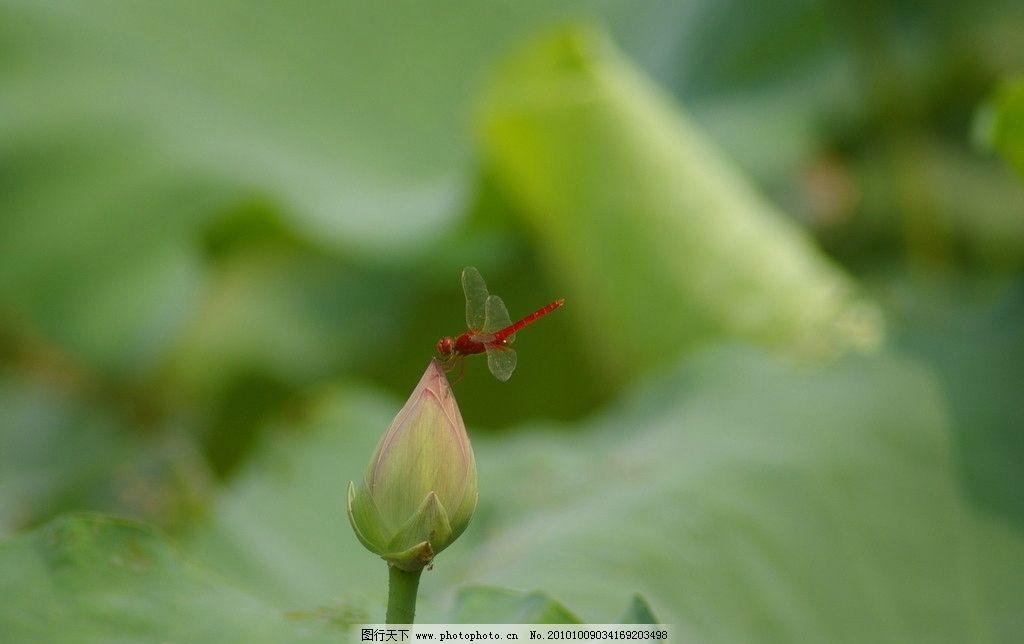 荷上蜻蜓 红色 蜻蜓 荷花 荷叶 自然 风景 夏 昆虫 自然风景 旅游摄影