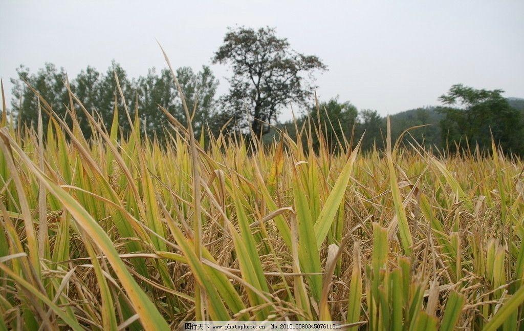稻浪 稻谷 金黄色 秋收 田园风光 自然景观 摄影 350dpi jpg