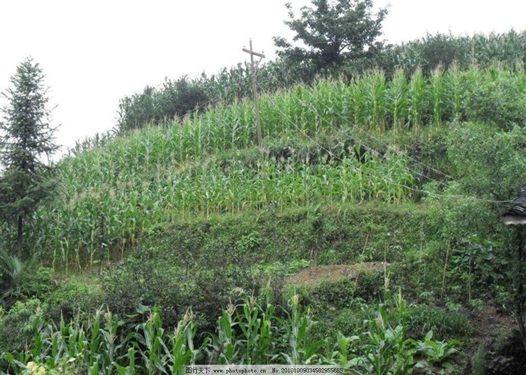 玉米地 玉米 风景 自然 树木 家乡 绿色 美丽 田园风光 自然景观 摄