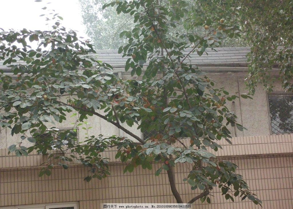 小小柿子图片_树木树叶