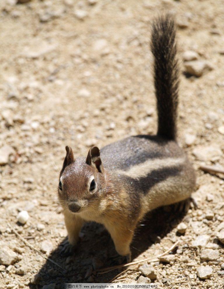 松鼠 动物图片 动物摄影 陆地动物 哺乳动物 野生动物 松鼠图片 动物