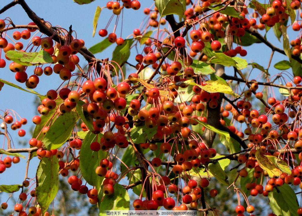 野果 园林树木 果实树木 野樱桃 秋天 黄色叶子 红色果子 蓝色天空