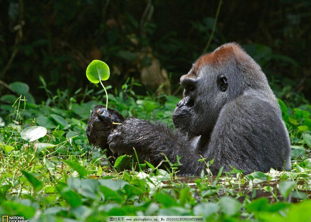 手持绿叶的黑猩猩 黑猩猩 猩猩 猴子 野生动物 绿色 绿叶 大自然 水