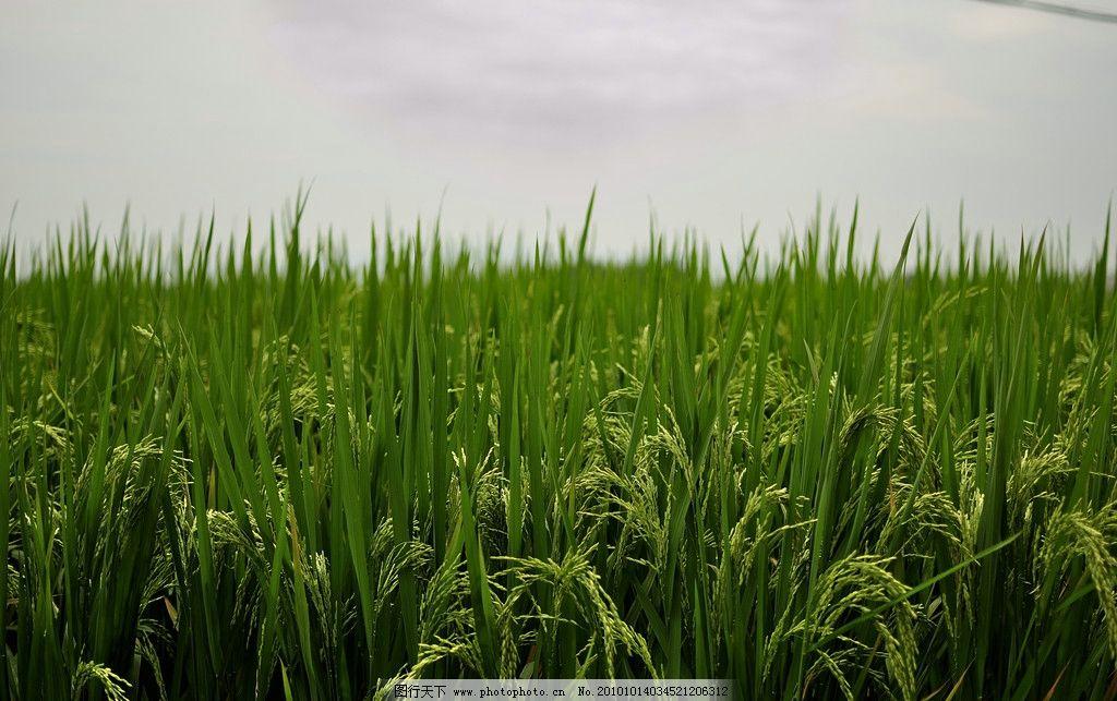 水稻田 稻田 田园 水稻 稻穗 田地 农村 粮食 丰收 田园风光 自然景观