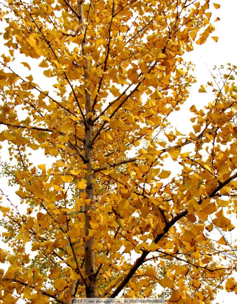 银杏树 园林树木 树枝 树叶 秋天 阳光 金黄色叶子 美丽宜人 植物与叶