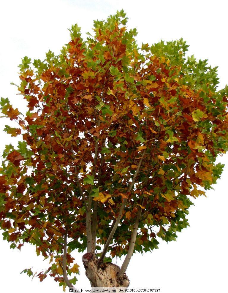 法桐 园林树木 灌木 落叶树木 秋色 树枝 树叶 黄叶 阳光 植物与叶子