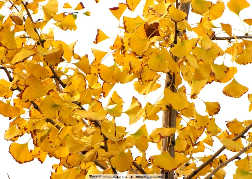 银杏叶 园林树木 树枝 树叶 金色叶子 阳光 秋色 美丽叶子 植物与叶子