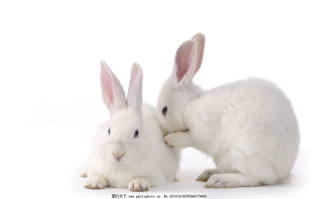 兔子图片 兔子 小兔子 小白兔 可爱 兔兔 宠物 家禽家畜 动物 生物