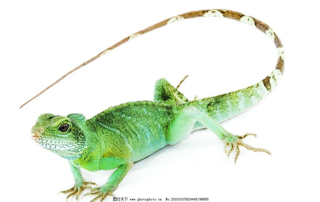 蜥蜴 动物 变色龙 鲜艳 野生动物 生物世界 设计 300dpi jpg