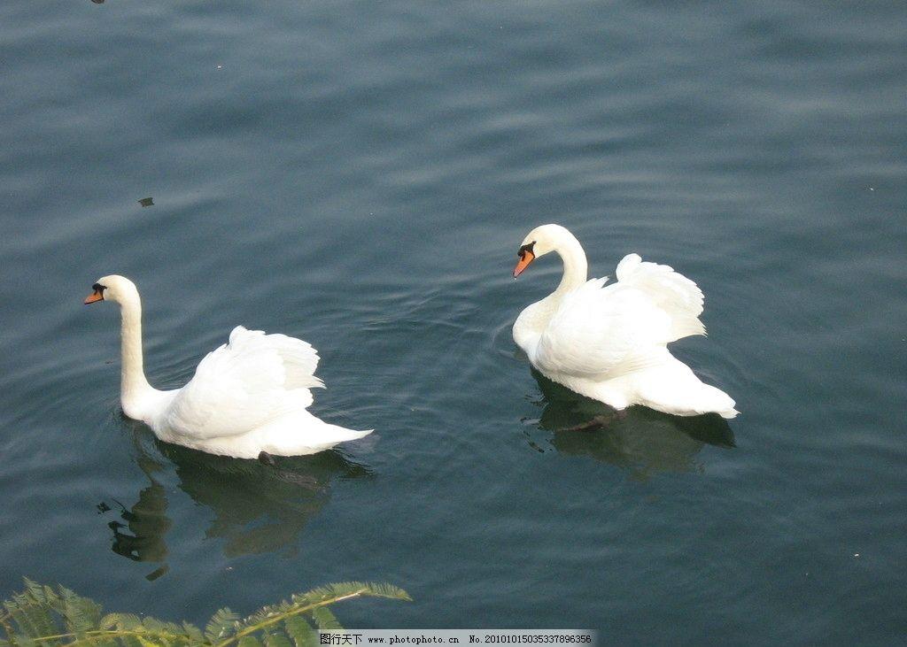 天鹅 动物图片 动物摄影 陆地动物 鸟类图片 禽鸟图片 白天鹅 漂亮的