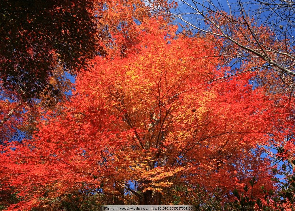 香山红叶 北京 旅游 香山 枫叶 红满天 树木树叶 生物世界 摄影 100