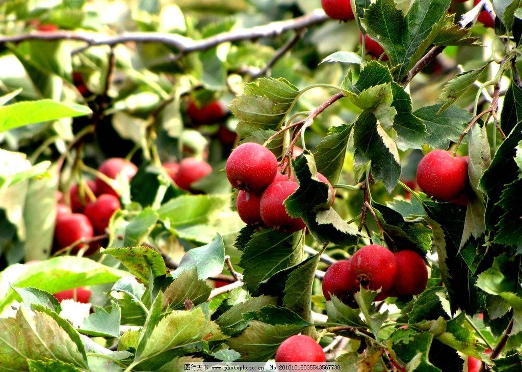 山楂 园林 果树 秋天 山楂果 红色果实 丰收季节 绿色叶子 水果