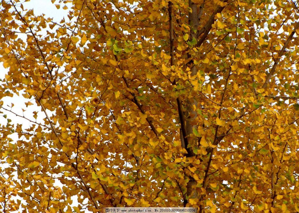 银杏树 银杏 园林树木 落叶植物 名贵树木 树枝 树叶 秋天 白色光芒下