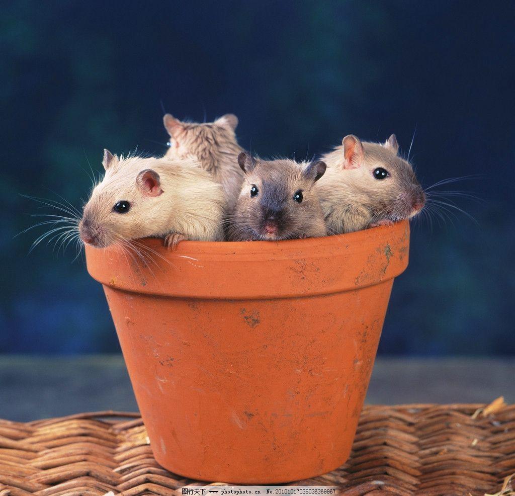 老鼠 宠物鼠 可爱 宠物 机灵 小动物 动物世界 野生动物 生物世界