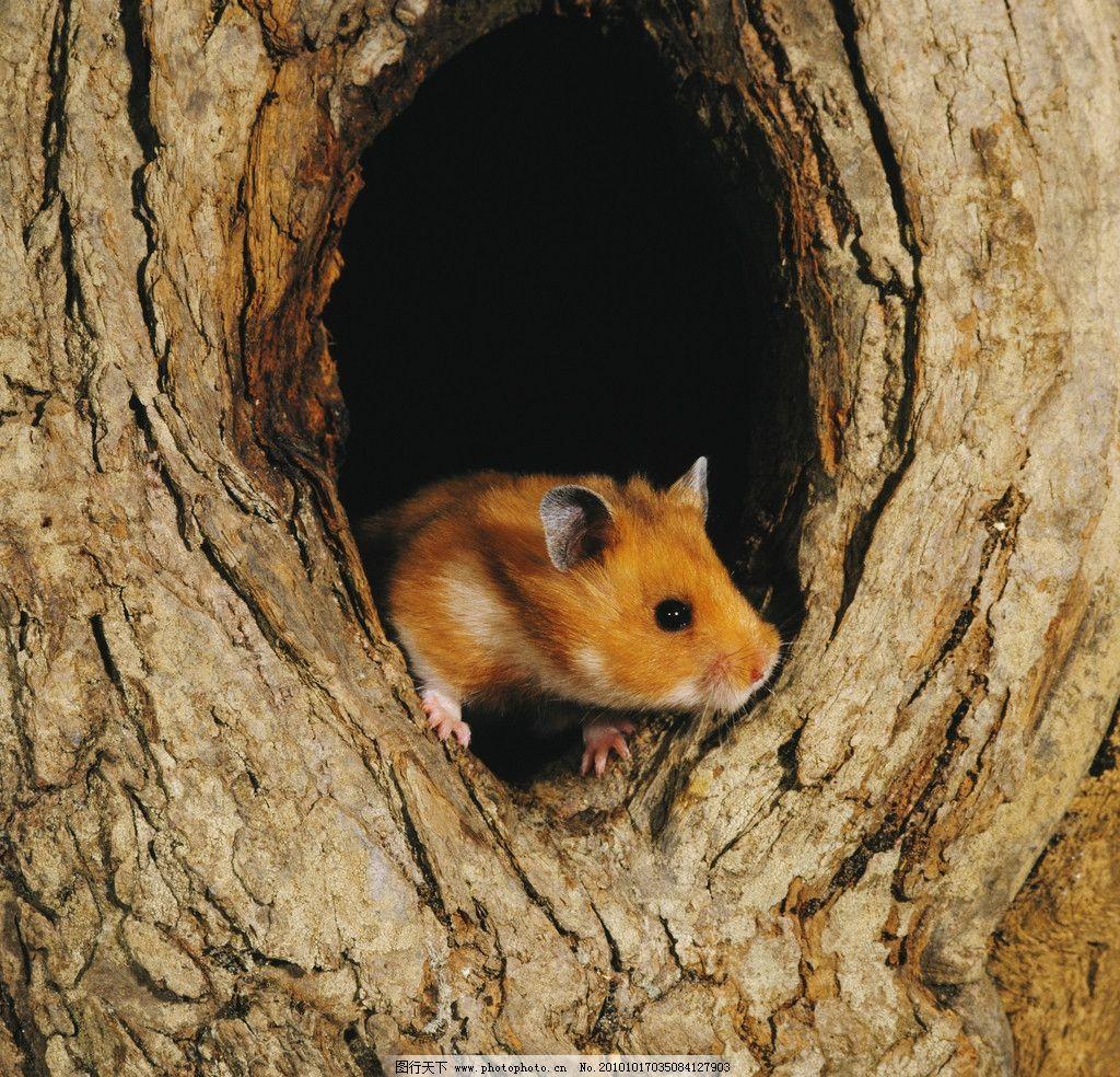 老鼠 宠物鼠 树洞 机灵 小动物 动物世界 动物摄影 野生动物
