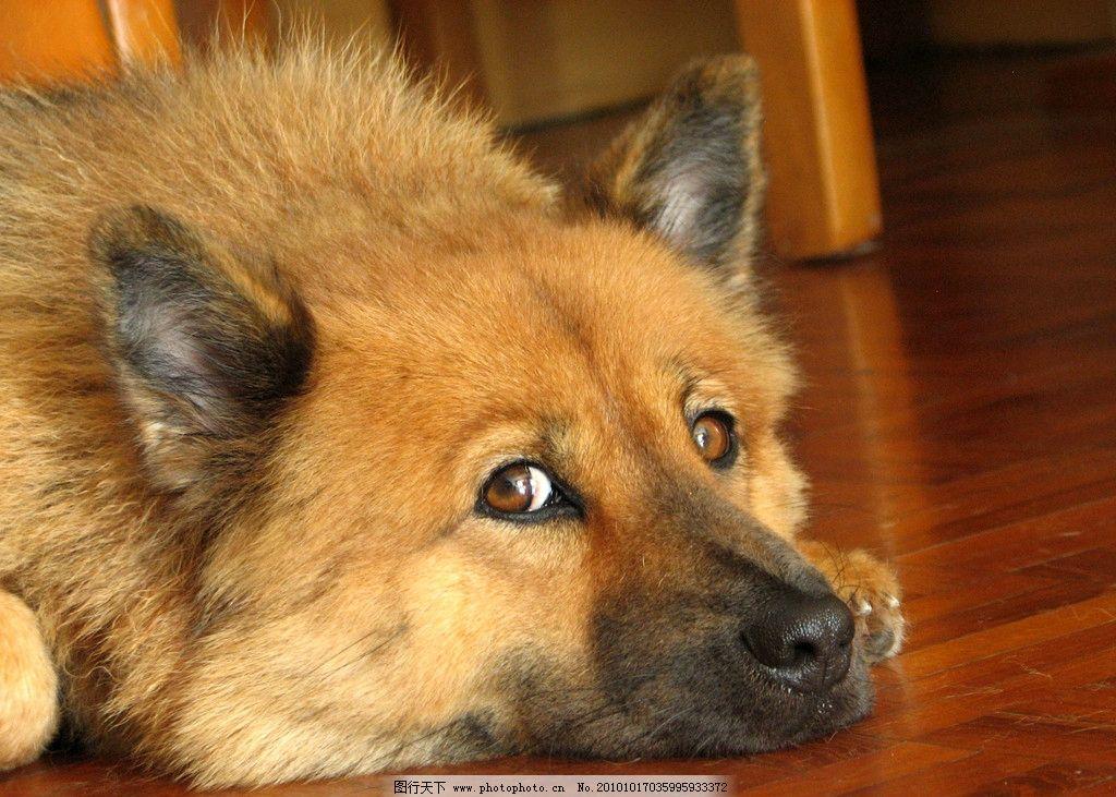 狗狗可爱表情 狗狗 家狗 黄狗 表情 搞笑狗狗 家禽家畜 生物世界 摄影