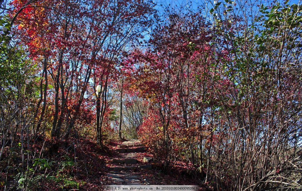 枫林石径 蓝天 枫树林 红叶 黄叶 绿叶 石径 石阶 自然风景 自然景观