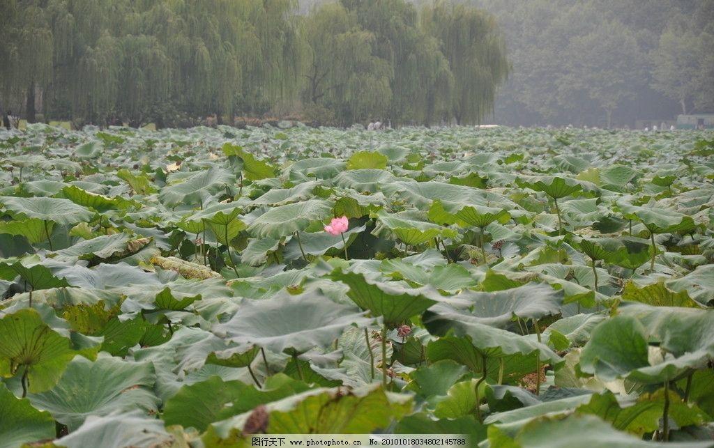 荷花 杨柳树 荷叶 荷塘 池塘 自然风景 自然景观 摄影 300dpi jpg