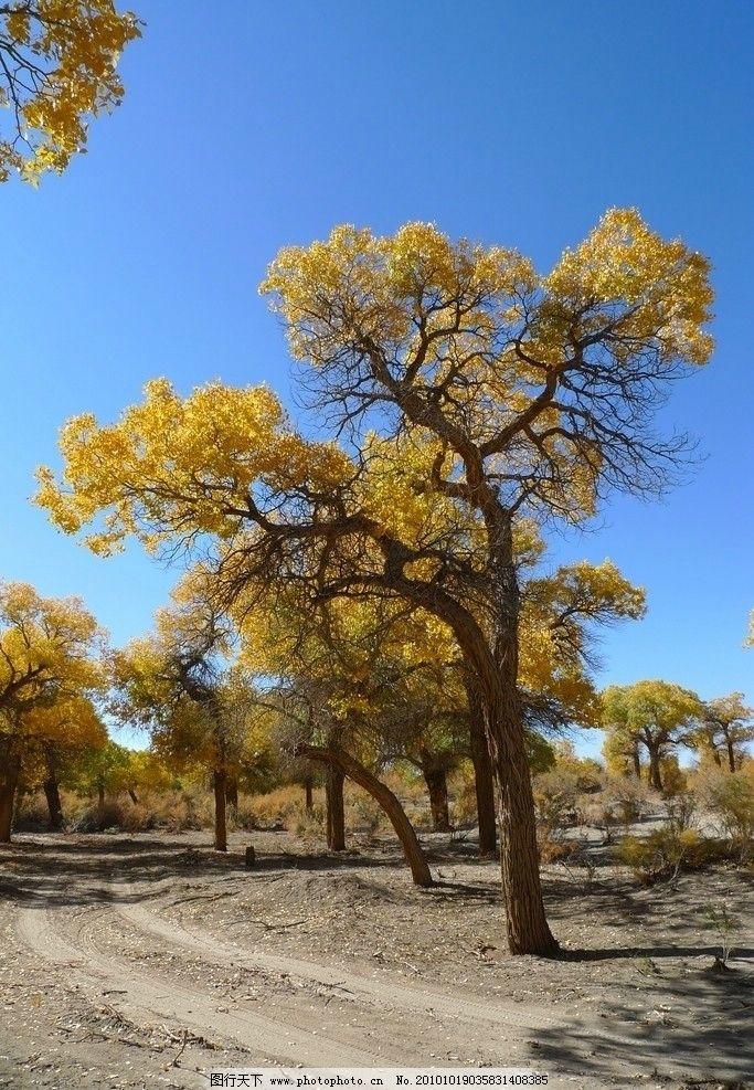 金色胡杨 胡杨林 活化石 古树 自然 风光 沙漠 戈壁滩 树木 秋天 黄色