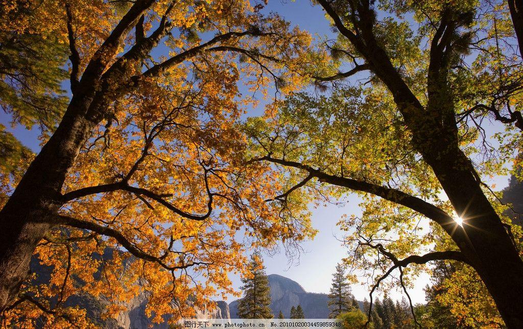 秋天森林里的大树 风景优美 黄色 摄影