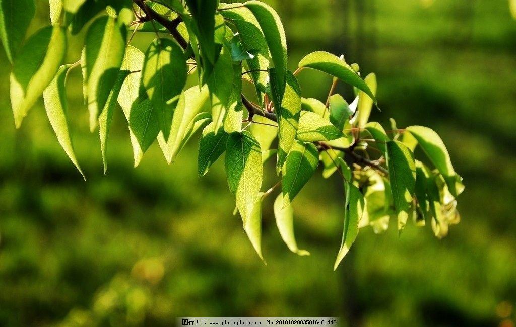 梨园春色 春天 梨树 树叶 春色 树木树叶 生物世界 摄影 300dpi jpg