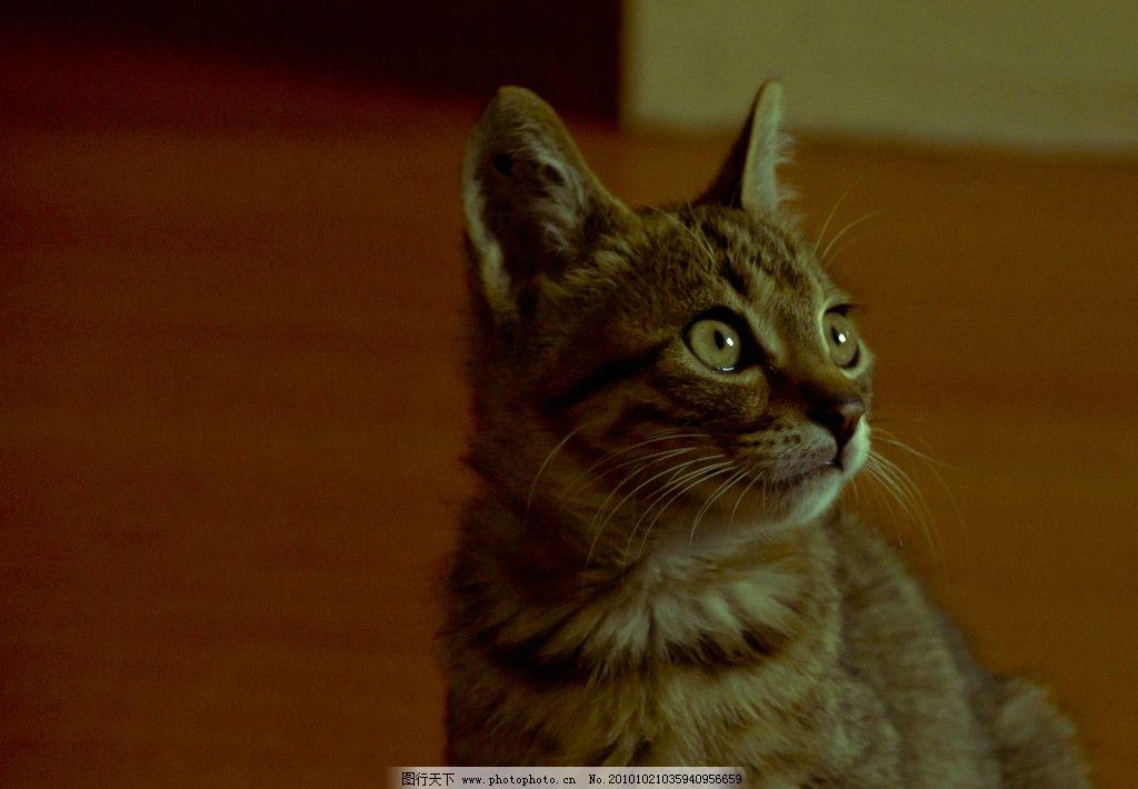 可爱猫咪 灰猫 摄影