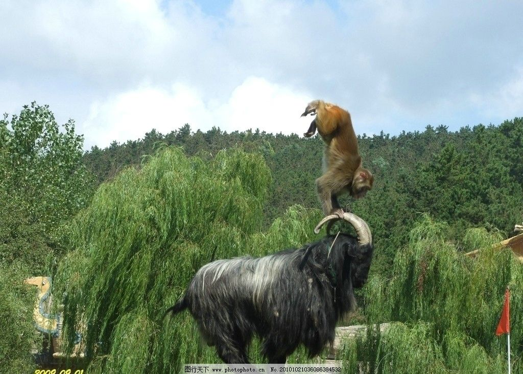 猴羊联合表演 猴子 在羊角上 做头手倒立 动物 其他生物 摄影