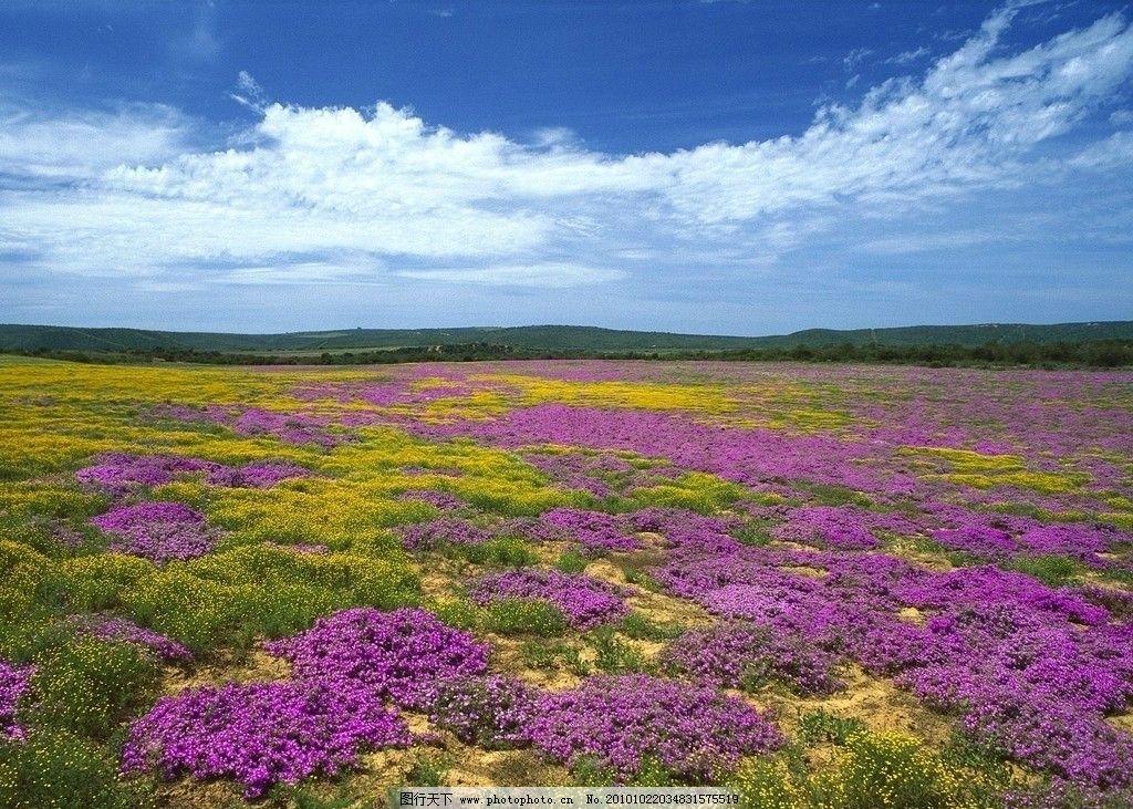 原野 蓝天 草地 树林 草甸 紫花 花海 云朵 自然风景 自然景观 摄影