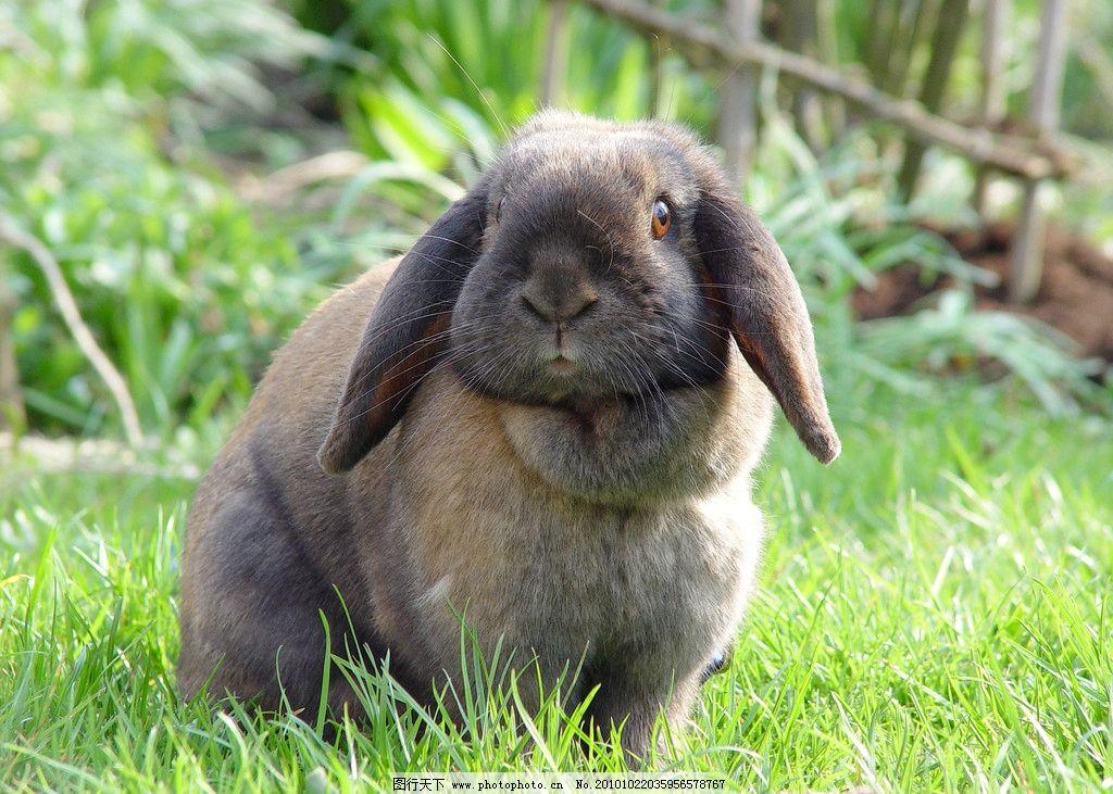 兔子高清 家兔 小兔子 绿色 草地 草丛 绿地 可爱 宠物 野兔