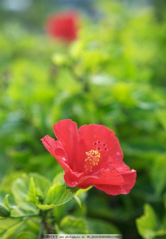 红花 花 绿叶 花蕊 田园 虚化 花瓣 自然 植物 摄影师国外游记 国外