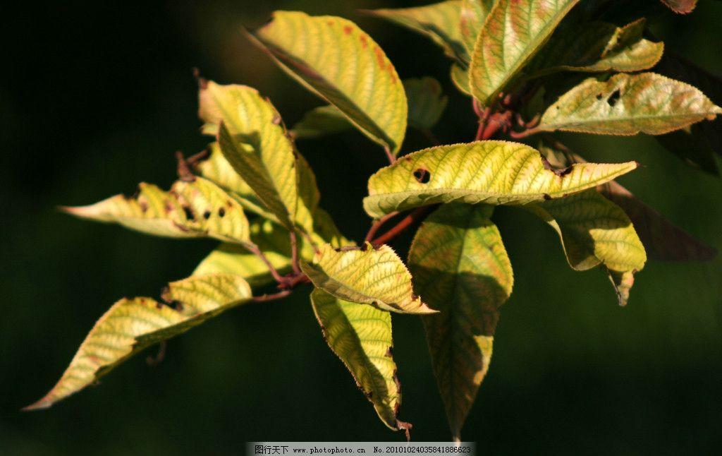 秋天的苹果树叶 微黄色图片