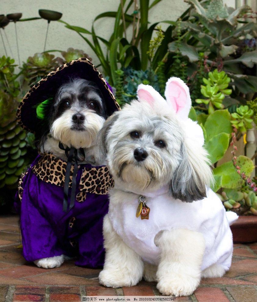 宠物狗 宠物 狗 古怪造型 兔耳朵 可爱 狗衣服 图库 家禽家畜 生物
