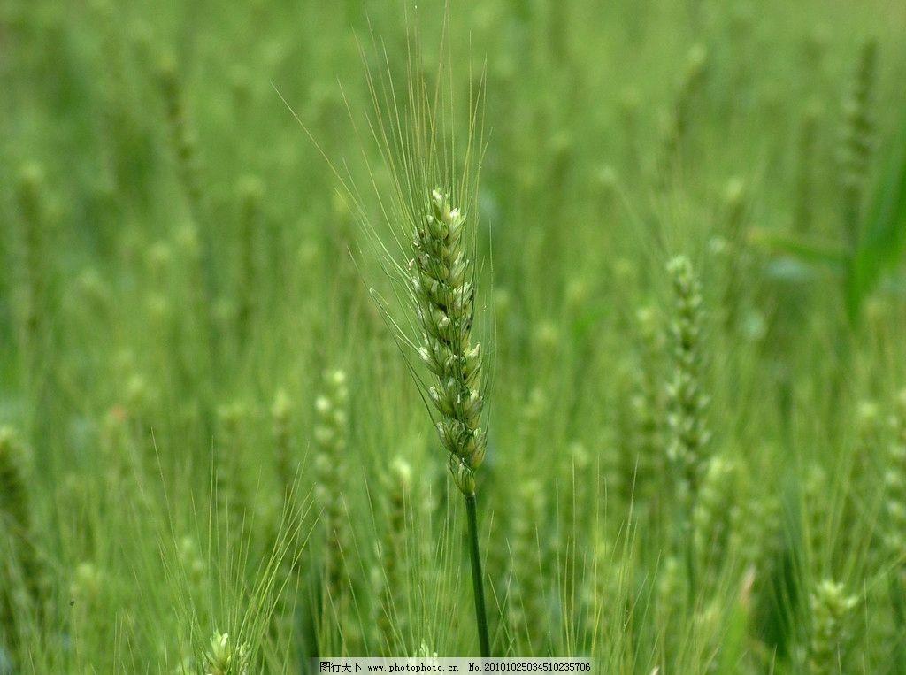绿色的小麦地图片