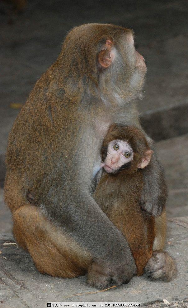 温暧的怀抱 猴子 黔灵山 动物园 小猴子 母猴子 公园 人与动物