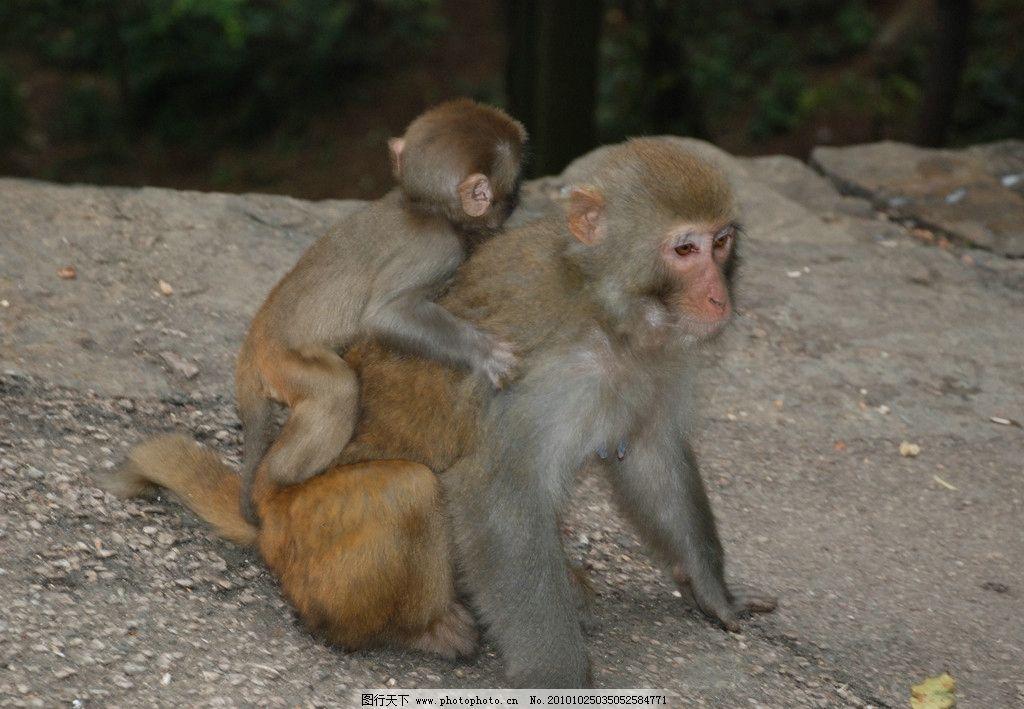 调皮小猴 猴子 黔灵山 野生动物 动物园 小猴子 母猴子 公园 动物 人