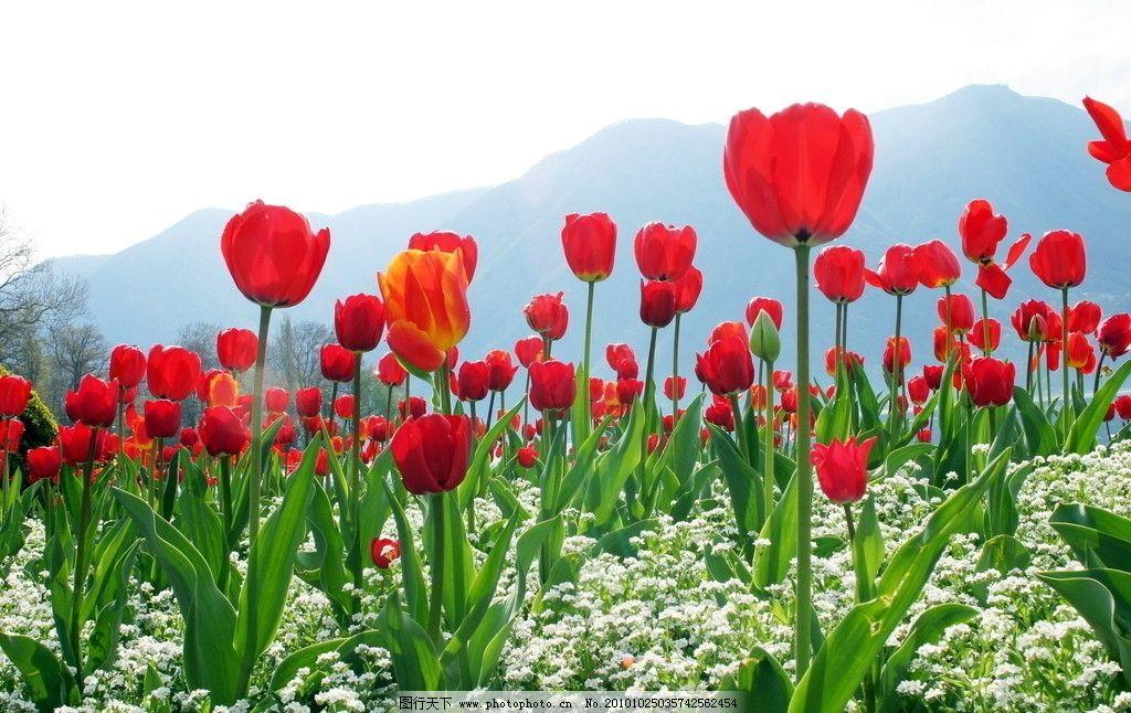 郁金香 花朵 花草 红色 田园风光 风光 大自然 自然景观 摄影 180dpi