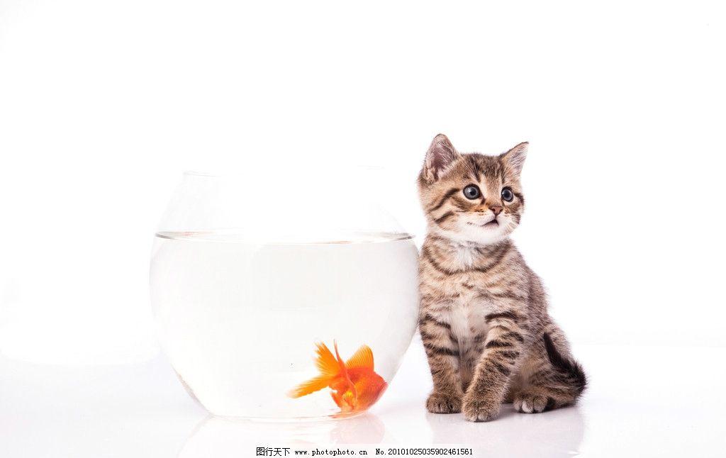可爱的小猫 猫 小猫 金鱼 鱼缸 猫咪 宠物 猫科 生物世界 家禽家畜 30