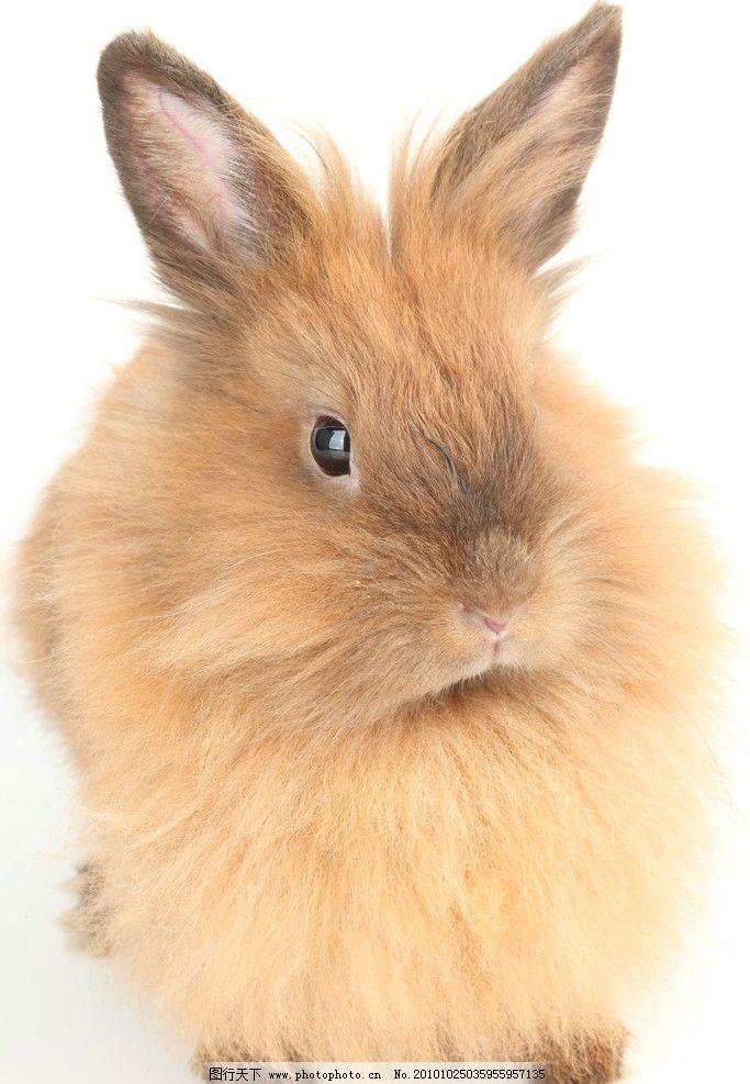 兔子高清图片,家兔 小兔子 可爱 宠物 野兔 野生动物