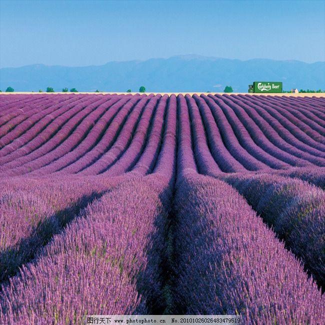 花海世界 薰衣草 紫色 薰衣草 紫色 花海 花海世界 图片素材 风景