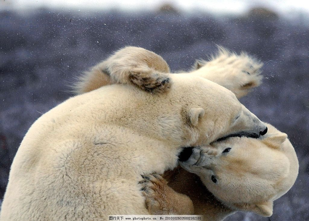 北极熊 动物 野兽 哺乳 熊 打架 野生动物 生物世界 摄影 72dpi jpg