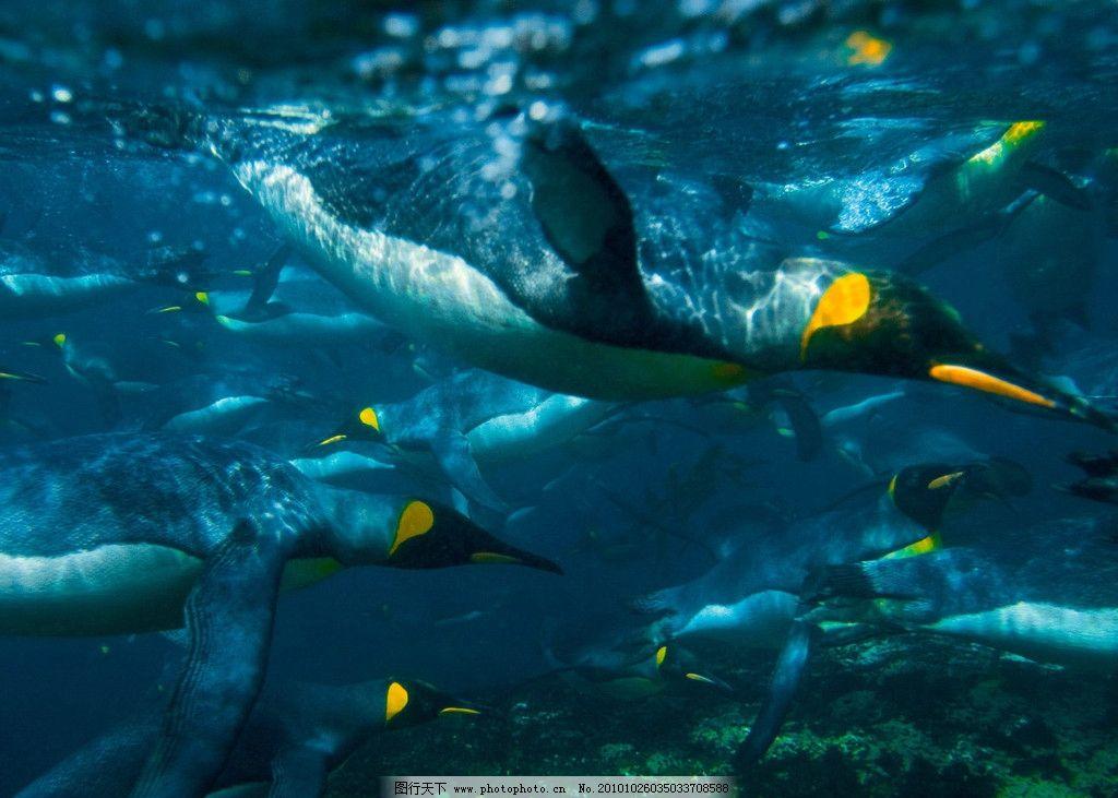 企鹅 动物 海底 北极 海洋 游泳 野生动物 生物世界 摄影