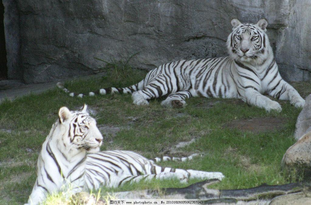 白虎 动物摄影 哺乳动物 野生动物 老虎 白老虎 老虎图片 老虎素材