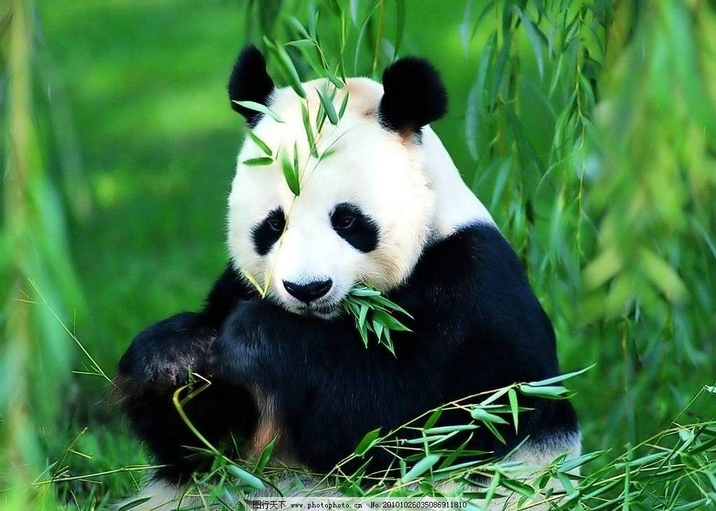 熊猫 国宝 竹子 可爱 黑眼圈 绿色 黑白 动物 野生动物 生物世界 摄影