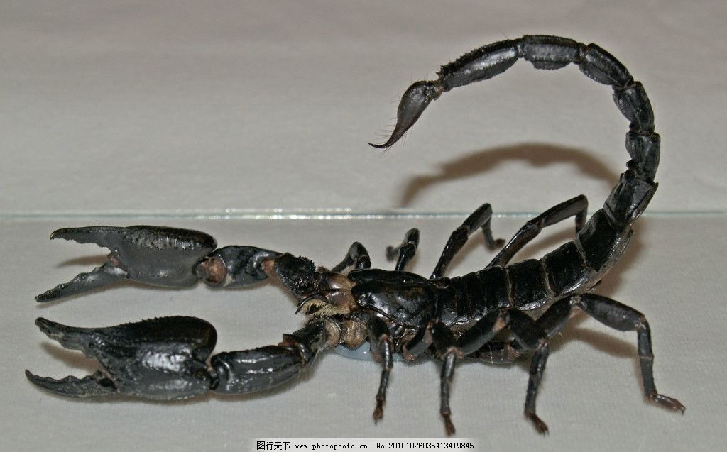 蝎子 动物摄影 昆虫动物 黑蝎子 蝎子素材 昆虫图片专辑