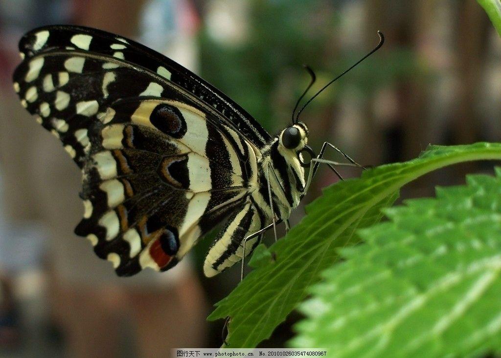 蝴蝶 动物摄影 昆虫动物 蝴蝶素材 昆虫图片专辑